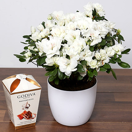 Beautiful White Azalea Plant and Godiva Truffles: Gift Ideas
