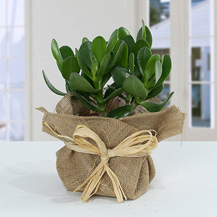 Classic Crassula in Jute Wrapping Pot: Gifts For Girlfriend