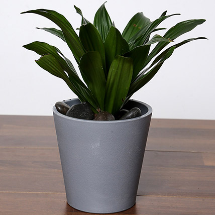 Dracaena Plant In Grey Pot: Buy Plants