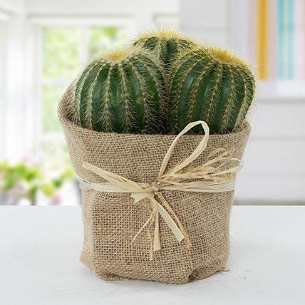 Echinocactus Grusonii Jute Wrapped Pot: Cactus and Succulent Plants