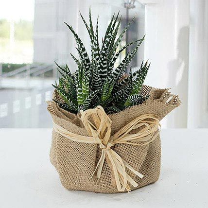 Jute Wrapped Howarthia Plant:  Gifts