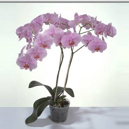 Pink Phalaenopsis Orchid Plant: Indoor Plants