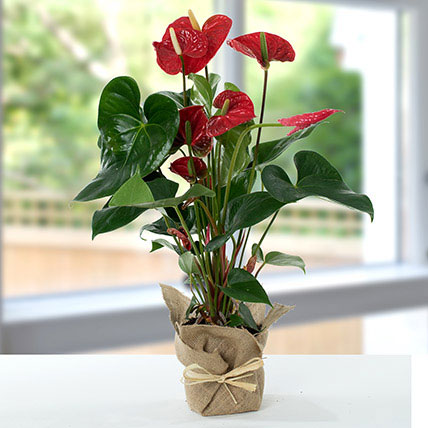 Red Anthurium Jute Wrapped Potted Plant: Money Plant Singapore