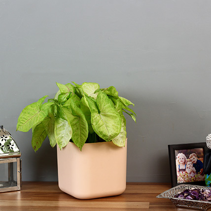 Syngonium Plant in White Plastic Pot: Plants