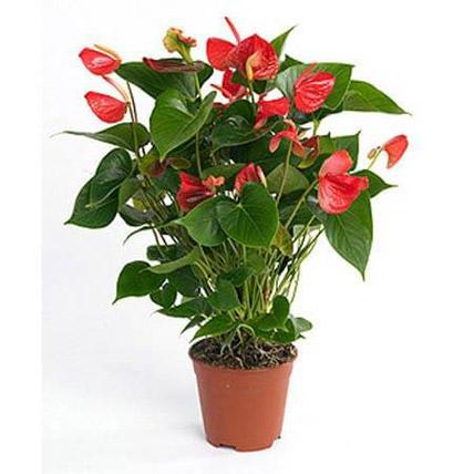 Red Anthurium Plant: Anthurium Plant