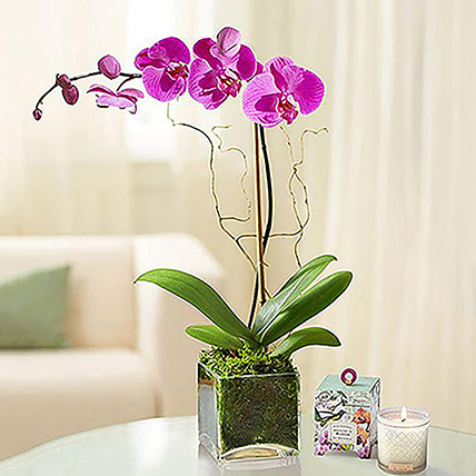 Purple Orchid Plant In Glass Vase: Anniversary Gifts