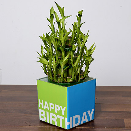 3 Layer Bamboo Plant For Birthday: Bamboo Plants