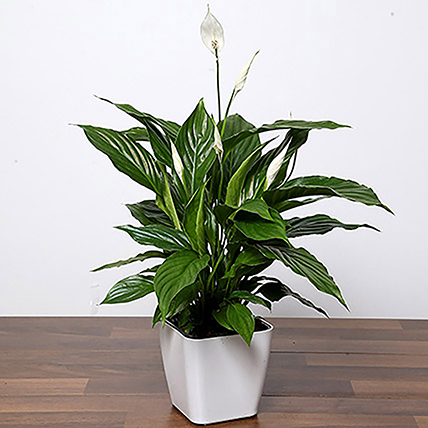 Amazing Peace Lily Plant: Outdoor Plants