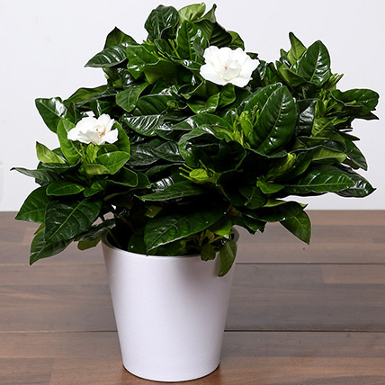 Beautiful Gardenia Jasmine Plant: Office Desk Plants