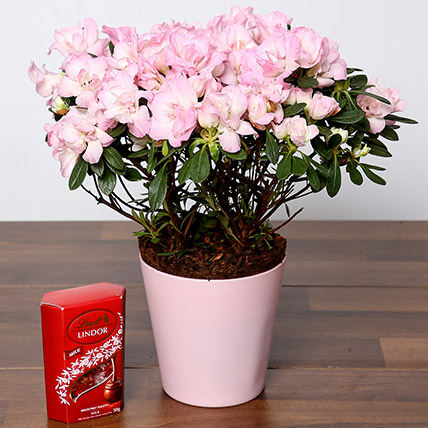 Beautiful Pink Azalea Plant and Lindt Truffles: Wedding Anniversary Gift Ideas