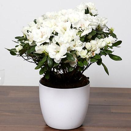 Beautiful White Azalea Plant: Indoor House Plants