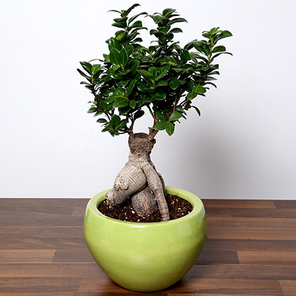 Bonsai Plant In Green Pot: House Warming Gifts