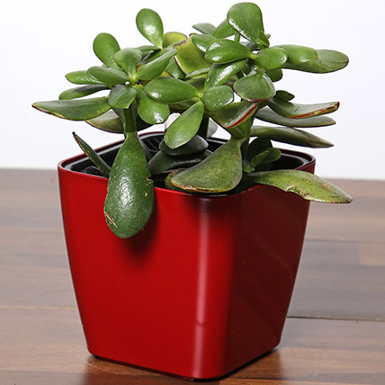 Crassula Plant In Red Pot: Mid Autumn Gifts