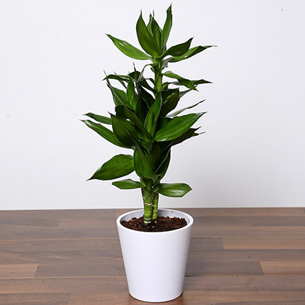 Dracaena Plant In White Pot: Desktop Plants