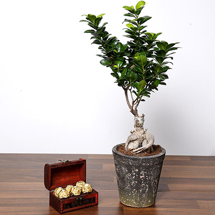 Ficus Bonsai Plant In Ceramic Pot and Chocolates: Desktop Plants