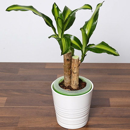 Massangeana Plant In Ceramic Pot: Desktop Plants