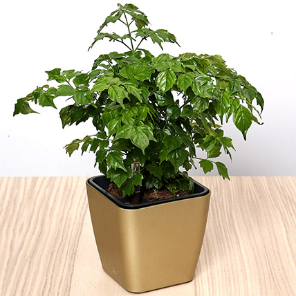 Radermachera Sinica Plant: Desktop Plants
