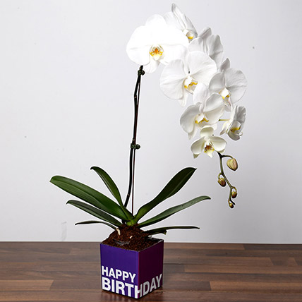 White Phalaenopsis Plant For Birthday: Desktop Plants