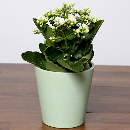 White Kalanchoe Plant In Green Pot: Flowering Plants Singapore
