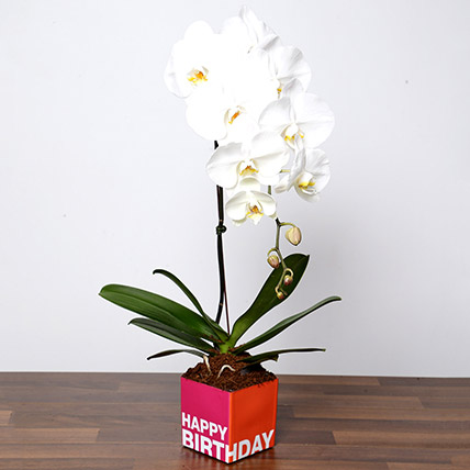 White Phalaenopsis Plant In Glass Vase: Desktop Plants