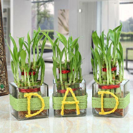 DAD Lucky Bamboo Plants: Lucky Bamboo