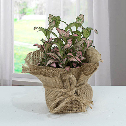 Fittonia Plant with Jute Wrapped Pot: