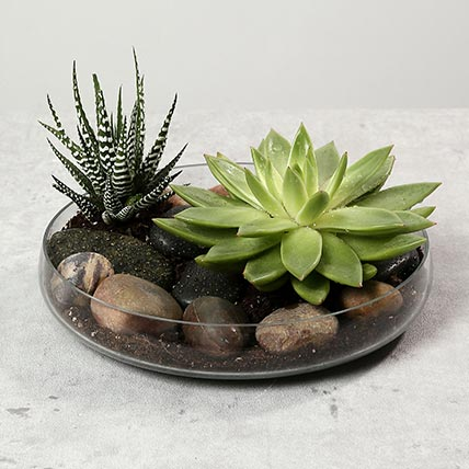 Green Echeveria and Haworthia with Natural Stones: Cactus and Succulent Plants