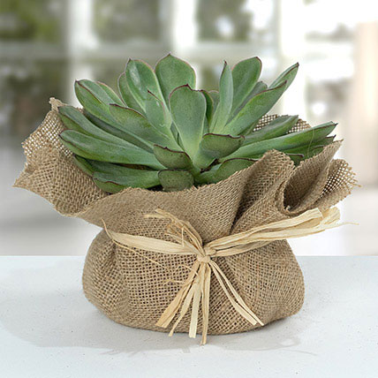 Green Echeveria Jute Wrapped Plant: Cactus and Succulents