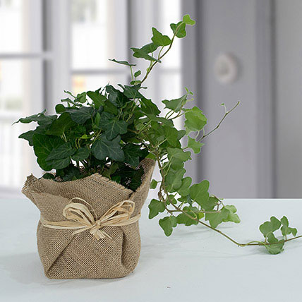 Hedera Plant with Jute Wrapping Pot: Xmas Gift Ideas for Sister