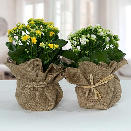 Jute Wrapped Dual Potted Plants: Plant Delivery Singapore