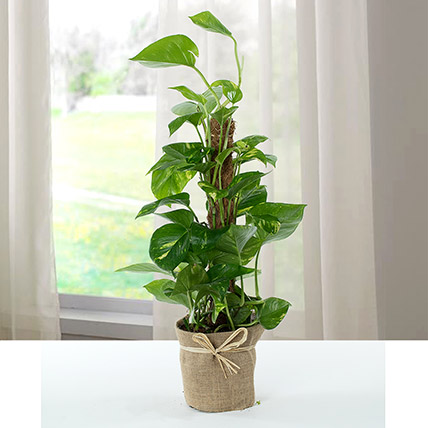 Jute Wrapped Epipremnum Aureum Plant: Money Plants