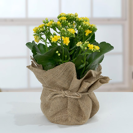 Jute Wrapped Yellow Kalanchoe Plant: Gift Ideas