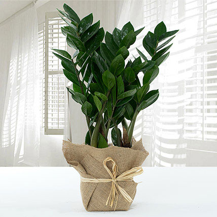 Jute Wrapped Zamia Potted Plant: Chinese New Year Plants