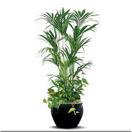 Dracaena Plant In White Pot: Air Purifying Indoor Plants