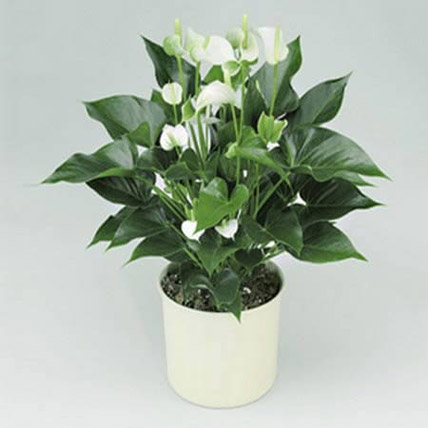 White Anthurium Plant: Outdoor Plants Singapore