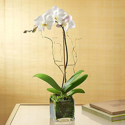 White Orchid Plant In Glass Vase: Plants For Birthday