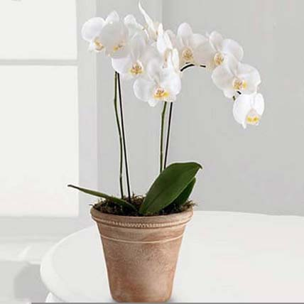 White Phalaenopsis Orchid Plant: Outdoor Plants Singapore