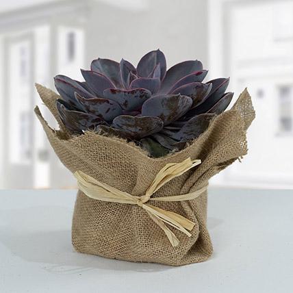 Purple Echeveria Jute Wrapped Plant: Cactus and Succulents