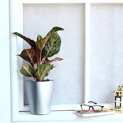 Red Aglaonema Plant in Silver Plastic Plant: Buy Plants
