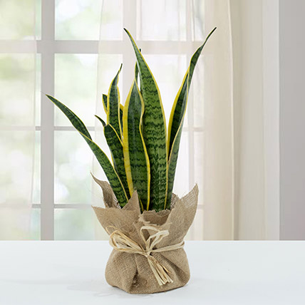 Sanseveria Plant with Jute Wrapping Pot: Outdoor Plants