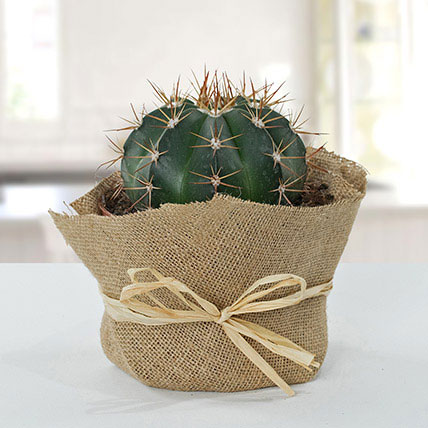 Amazing Cactus with Jute Wrapped Pot: Cactus and Succulent Plants