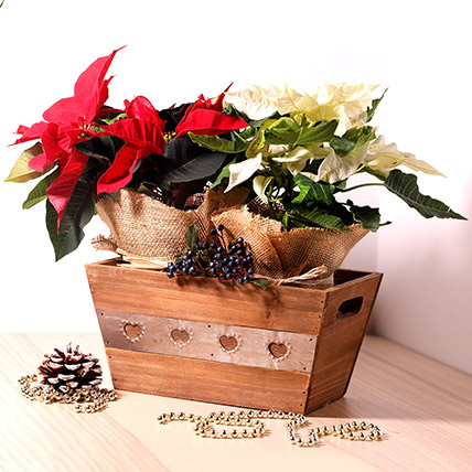 Red and White Poinsettia Plant
