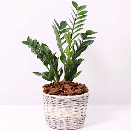 Zamia Plant in a Basket: