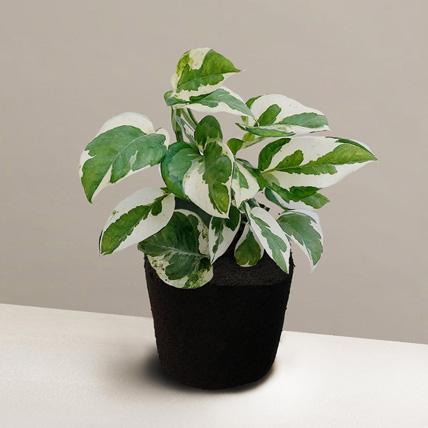 Foliage Epipremnum Plant: International Friendship Day