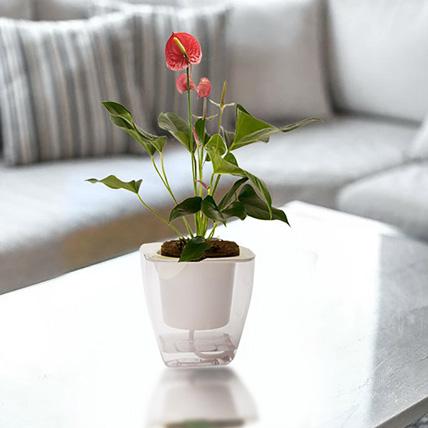 Alluring Red Anthurium Plant: Plants