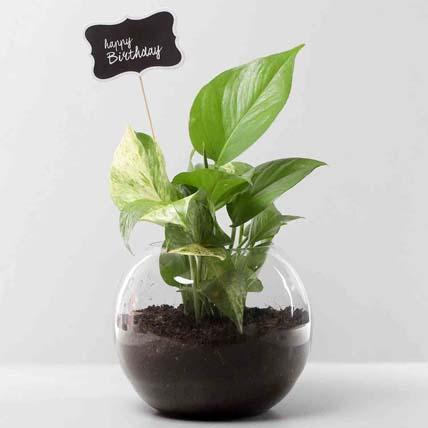 Bday Money Plant Combo:
