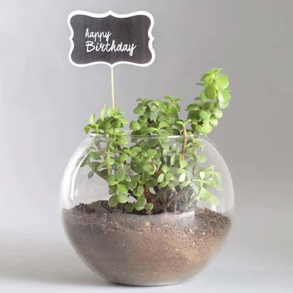 Birthday Jade Plant Combo: Living room Plants