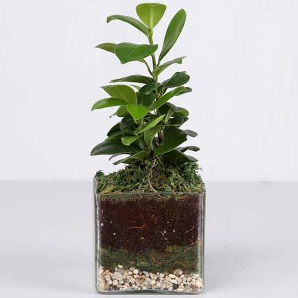 Ficus Compacta Terrarium: Plant Combo Gifts
