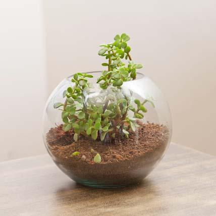 Jade Plant In Round Vase Combo: