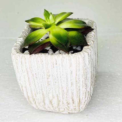 Echeveria Plant In Ceramic Pot: Indoor Plants